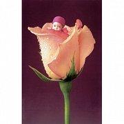 Anglická růže