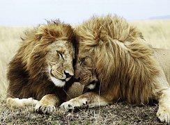 Pár lvů