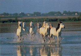 Plavení koní