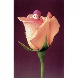 Anglická růže - 1