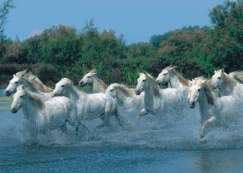 Plavení koní - 1