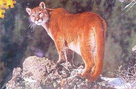 Puma na Aljašce