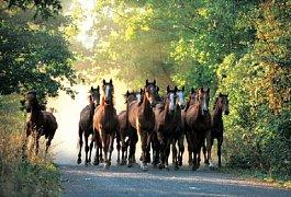 Stádo anglických plnokrevných koní