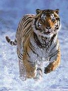 Tygr na sněhu