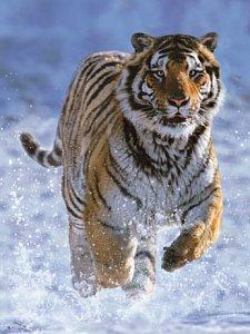 Tygr na sněhu - 1